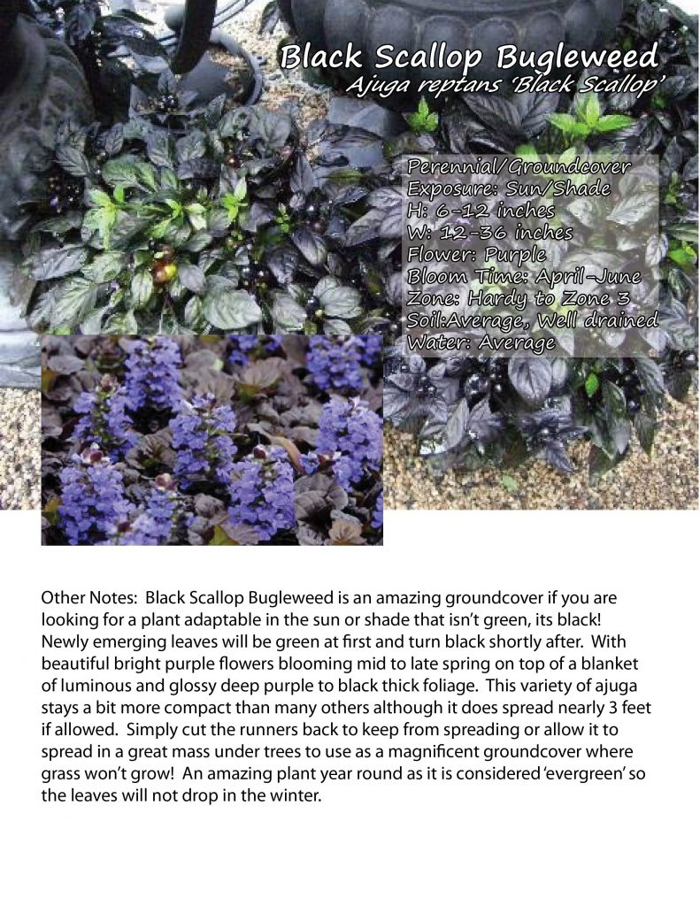 Ajuga 'Black Scallop'