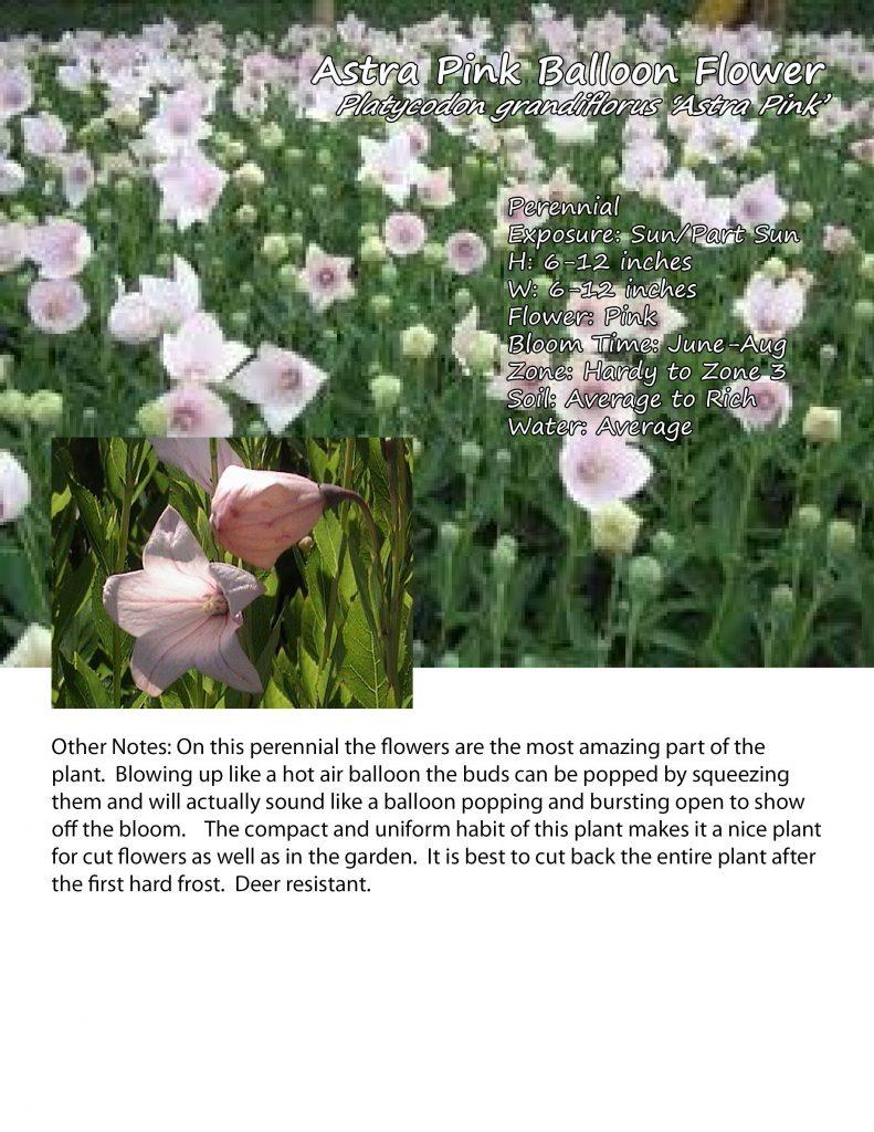 BalloonFlower 'Astra Pink'
