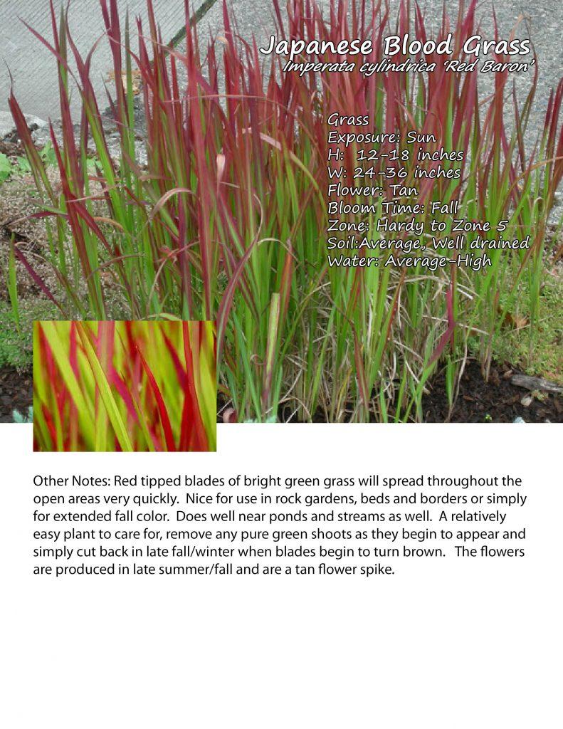 Grass- Japanese Blood Grass