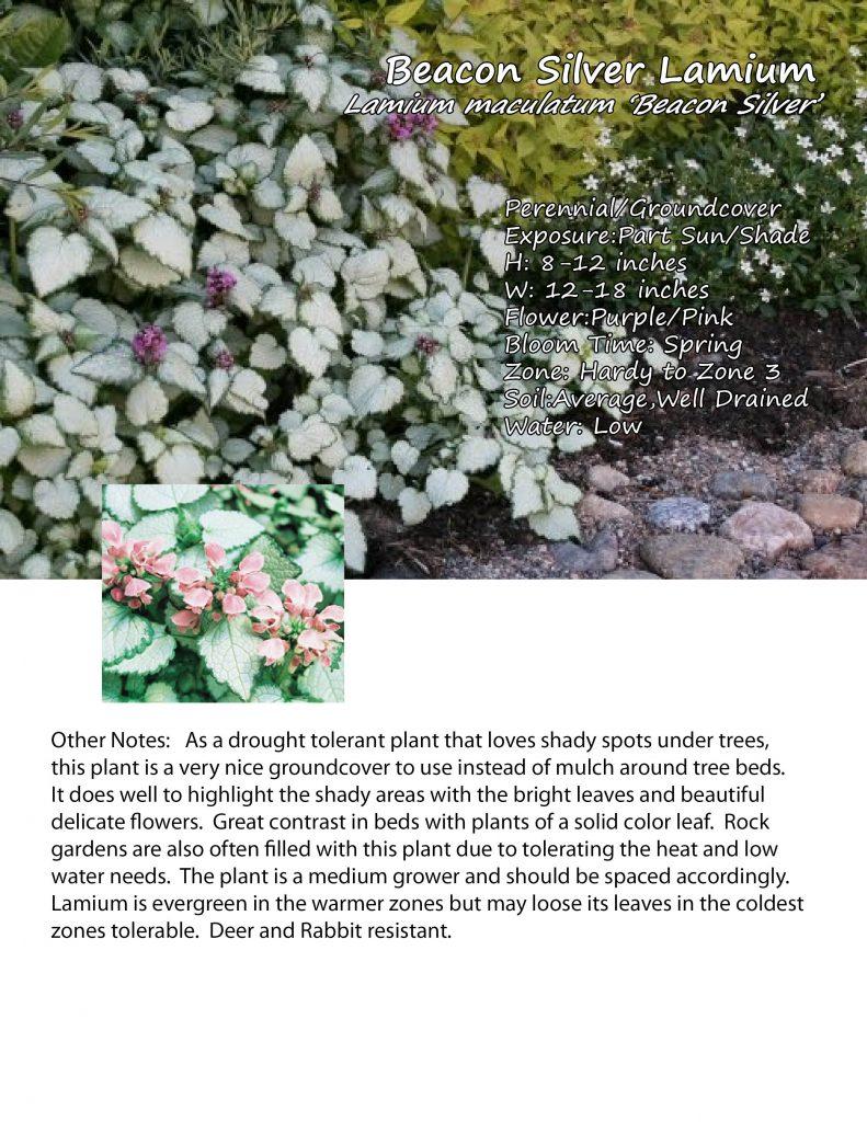 Lamium 'Beacon Silver'