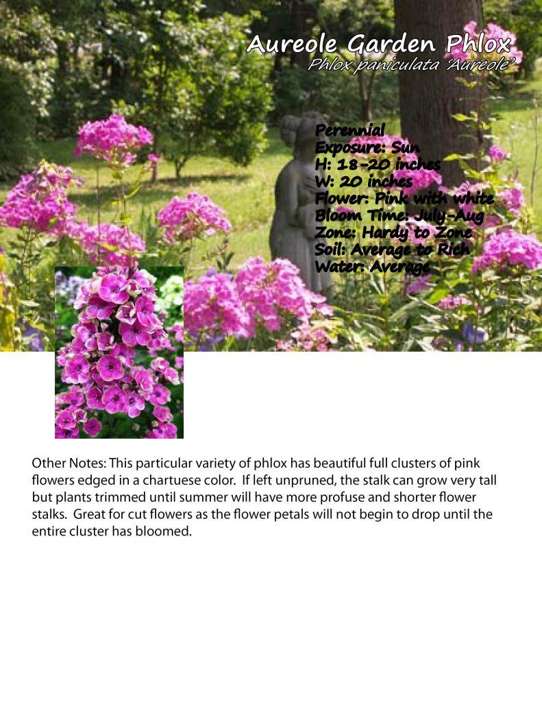 Phlox- 'Aureole' Garden Phlox